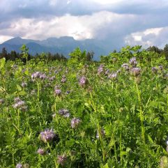 Phacelia low