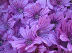 malvenblüten