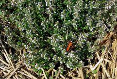 Schmetterling auf Thymian