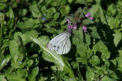 Schmetterling im Beikraut