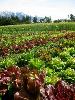 Feld mit Salatenund Bergen