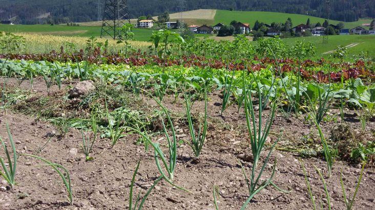 Mischkultur. Verschiedene Gemüsearten wachsen nebeneinander und beeinflussen sich positiv