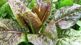 seltene Salatsorte