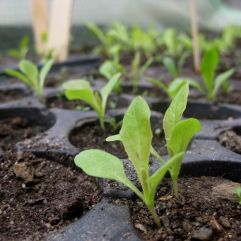 Salatpflänzchen 2