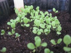 Salatpflänzchen