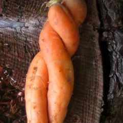 verschlungene Karotten