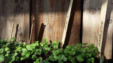 Kohlrabi Jungpflanzen