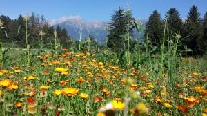 Ringelblumen für die Bienen auf unserem Gemüsefeld