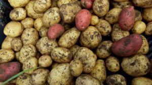 unsere Kartoffeln Ditta und Laura