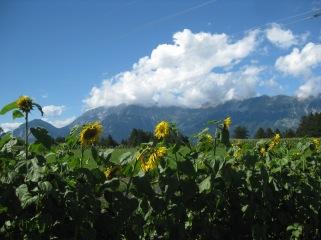 Sonneblumenu nd Blühmischungen zur Bodenverbesserung und als Bienen und Insektenweide