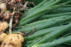 fruehlingszweibeln-kartoffeln-und-zwiebeln