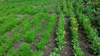 Karotten und Ringelblumen