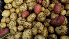 Unsere Kartoffeln