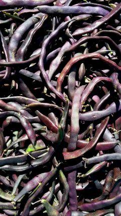 Violette Bohnen
