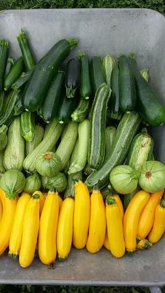 verschiedene Zucchinisorten