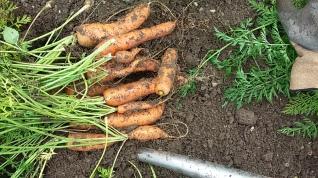 Karotten ernten