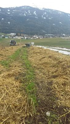 letzte Karottenernte im November