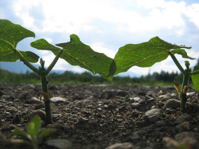 Erste Bohnenpflanzen im Frühsommer