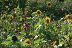 Blühfeld für Insekten