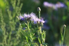 Phacelia für Insekten und Boden