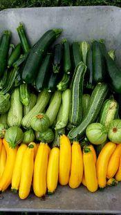 Zucchinivielfalt