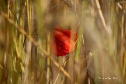 Mohnblume im Weizenfeld