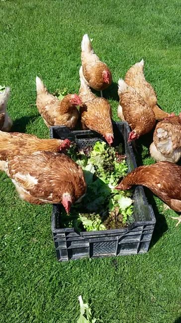 Salatreste für die Hennen