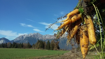 Karottenernte Dezember