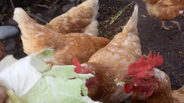Hennen fressen Kraut