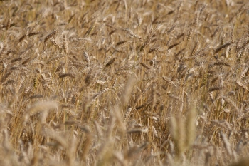 Getreidefeld kurz vor der Ernte