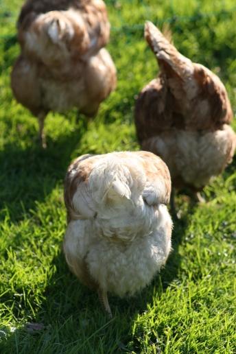 Unsere Hennen auf der Weide