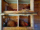 Hühnernester