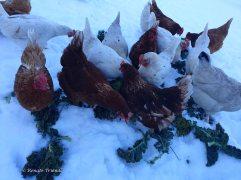 Hühnerfütterung im Schnee
