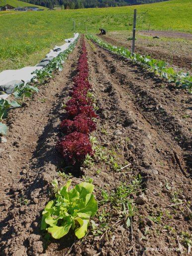 Salatreihen Frühjahr 2019