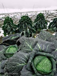 Wintergemüse auf dem Feld