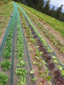 Salat, Rohnen Reihen