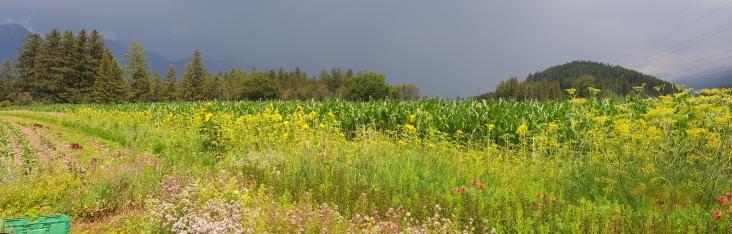 Blühstreifen, Kräuter Gewitterstimmung