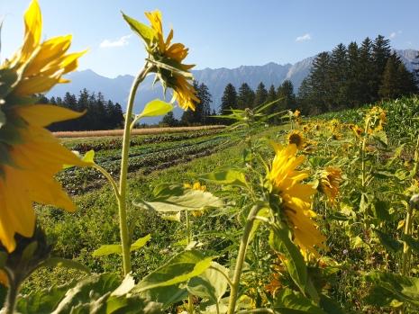 Gemüsefeld mit Blühstreifen