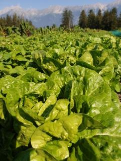 Salate vor der Ernte